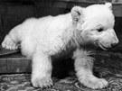 Sněhulka byla prvním mládětem medvěda ledního odchovaným uměle.