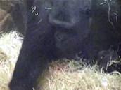 V levé ruce mládě, pravou Kijivu upravuje hnízdo.