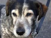 Silver je jeden z psů kralupského útulku, kteří potřebují přispět na nutnou