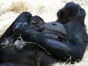 Takhle mohli na Štědrý den vidět návštěvníci Zoo Praha gorilu Kijivu s...