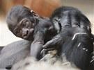 V mámině náruči je zatím gorilímu mláděti nejlíp.