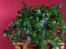 Břečťan (Hedera helix) je nenáročný na pěstování a dlouhověký. Postarat se o...