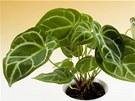 Anturie (na sn�mku Anthurium Cristalinum) do k�e vzduch �istit od amoniaku,...