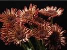 Chryzantéma (na snímku) nebo gerbera čistí vzduch a ještě prostor rozsvítí...