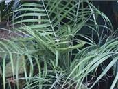 Datlov� palma (Phoenix roebelenii) skv�le pohlcuje cigaretov� kou� i...