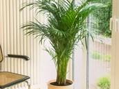 Arekov� palma (Chrysalidocarpus lutescens) tak� dok�e pohlcovat formaldehyd.
