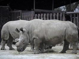 Nosorožci před transportem do Afriky.