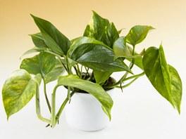 Scindapsus neboli potos je b�nou pokojovou rostlinou, ale m�lokdo v�, �e te...