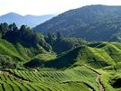 Čajové plantáže na Cameron Highlands vcentrální Malajsii
