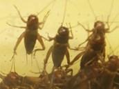 Cvrrčci se usmrcují až těsně před přípravou jídla.