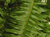 Ledviník (Nephrolepsis exaltata) je asi nejznámější pokojová kapradina. Ze