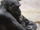 Kijivu s mládětem.