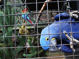 V pražské zoo dostali vánoční stromky ke svačině i papoušci Ara.