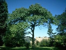 Vzrostlý strom paulovnie