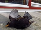 Nacházet pod okny či balkonem svého domu mrtvé ptáky je pro mnohé hodně...