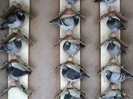 Každý holub má v holubníku jihlavského chovatele své místo.