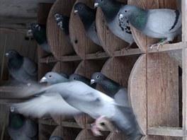 """""""Takový pořádek jako v holubníku nemám ani doma,"""" směje se úspěšný chovatel"""