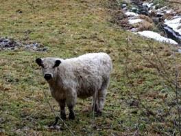 Pastva dobytka na nivách okolo Moravice