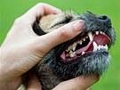 Čím menší pes, tím větší starosti se zuby. Veterináři doporučují dvě