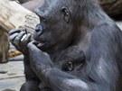 Kijivu s mládětem