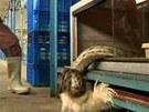 Uchvácenou živou slepici už hladový had nepustí...