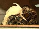 Posléze už do sebe had souká celou slepici...