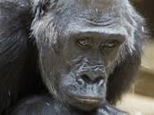 Odpočívající Kamba mívá často zamyšlený výraz.