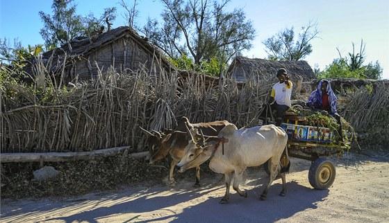 Zebu povoz patří k tradičním formám dopravy.