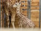 V Praze se narodila malá samička žirafy Rothschildovy. Dostala jméno Liana.
