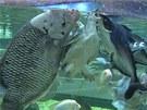 Krmení sladkovodních karet a ryb v centrální nádrži Mořského světa (úplně vlevo...