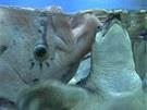 Krmení sladkovodních karet a ryb v centrální nádrži (vlevo gurama)