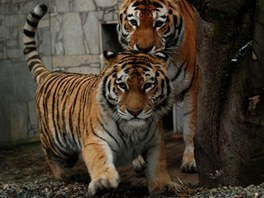 Tygřice Maja (na snímku blíže) se samcem Tharem se pilně snaží o rozšíření
