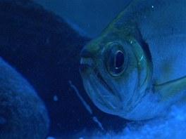 Ostré zuby nenechají nikoho na pochybách, že i sladkovodní ryby umí být dravé.