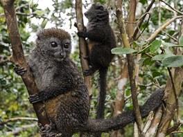 Lemuři v NP Andasibe