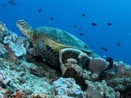Želvy v Korálovém moři
