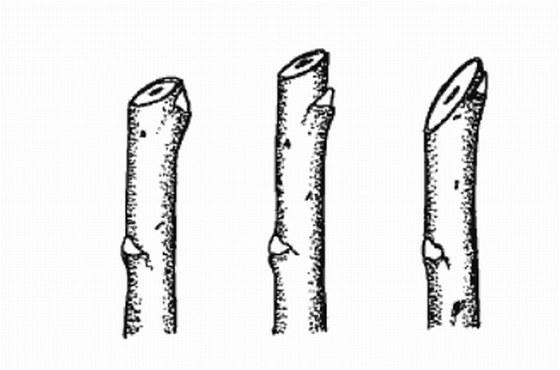 Řez jednoletého výhonu na pupen. Vlevo správně, uprostřed chybně, vpravo chybně