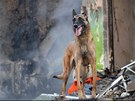 Speciálně vycvičený pes při prohledávání trosek.