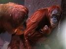 Orangutaní samice Mawar s tříměsíčním mládětem v ZOO Praha.