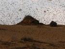 Jih Izraele zaplavila hejna žravých kobylek (6. března 2013)