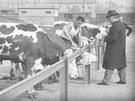 Krávy v areálu bývalý ostravských městských jatek.