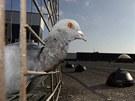 Letošní odchyt holubů v centru Jihlavy by měl jejich populaci zredukovat na