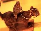 Jeden z nejbizarnějších exponátů - žába jedoucí na koni, tedy vlastně na