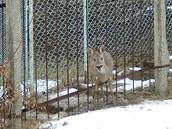 Srnka uv�zla mezi pruty �elezn�ho plotu.