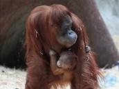 Orangutaní mládě se umí držet jako klíště, mámy Mawar se jen tak nepustí.