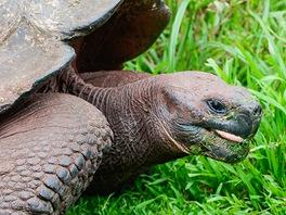 Želva sloní (Geochelone nigra) je největší žijící pozemní druh želvy. Žije jen