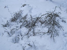 Tělo bylo ukryto pod větvemi a sněhem.