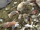 V čínské Šanghaji z řeky Chuang-pchu stále tahají stovky uhynulých prasat,...