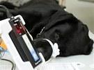Fenku Domču zdarma operovali na fakultě veterinárního lékařství.