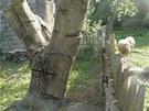 Kmen ořešáku k pokácení, naočkovaný hlívou