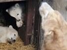 Medvíďata vykukují z bezpečí svého brlohu (16. 3. 2013).